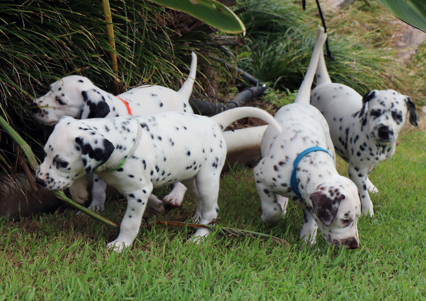 Four dalmatian puppies on green grass